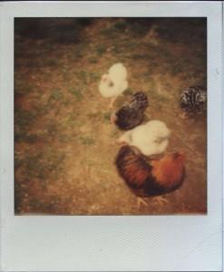 Polaroid Hühner